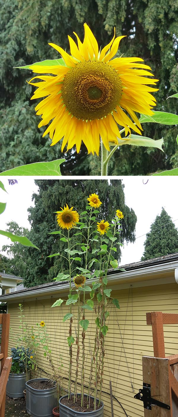 Sunflower_8129_Group_1000